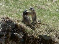 Marmottons 1